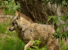 Wolf doodt 14 schapen, dodelijkste aanval in Gelderland tot nu toe