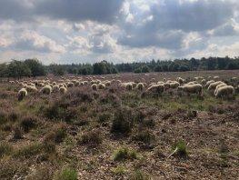Meelopen met de herder